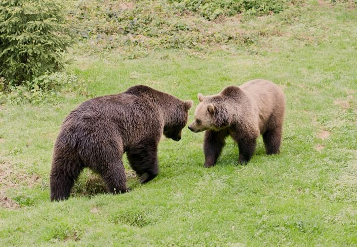 2-brown-bears