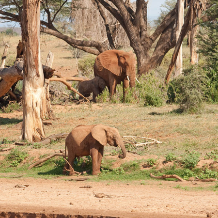 African Elephants at Samburu