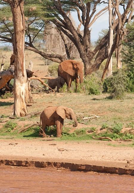 African Elephants at Samburu