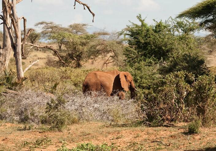 African Elephant at Samburu
