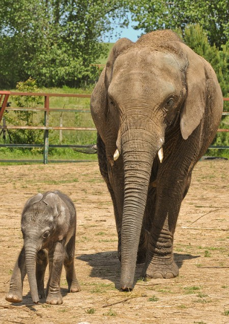 Baby & Mother African Elephant