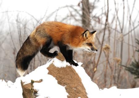 American Fox Minnesota