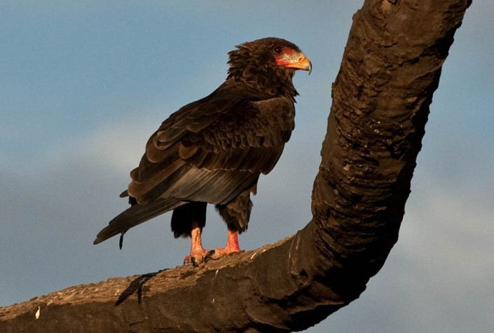 Female Bateleur Eagle