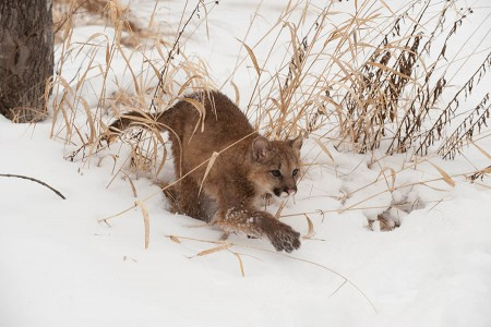 Young Cougar in the snow