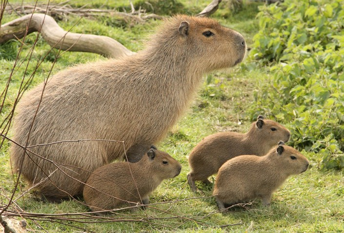 Capybara with young - Largest Rodent in the world!
