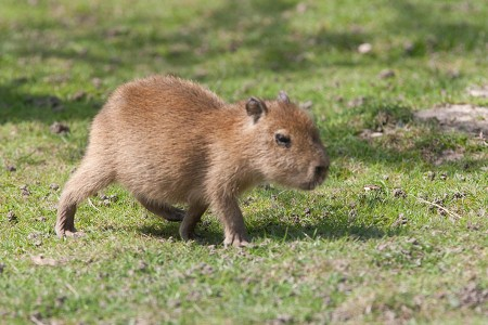 Capybara Youngster