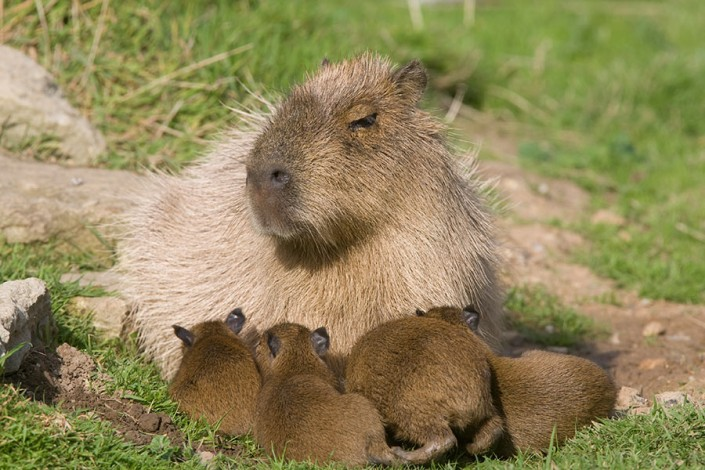 Capybara female with babies