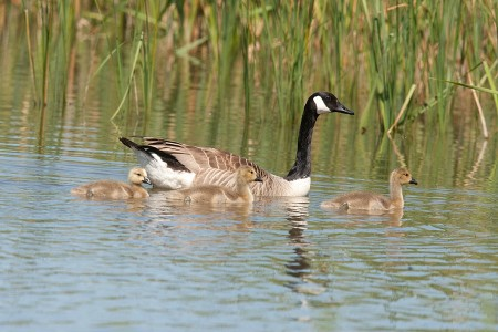 Canada Goose with young