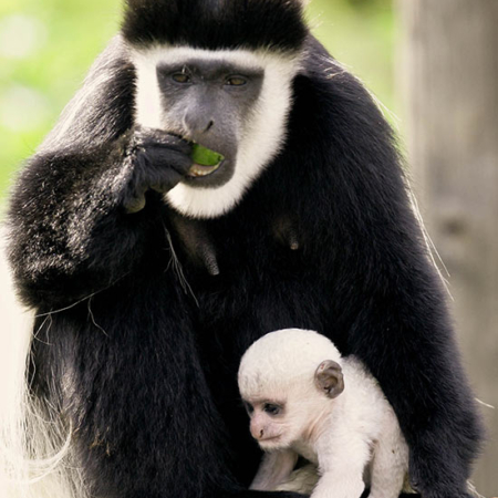 Colobus with Baby