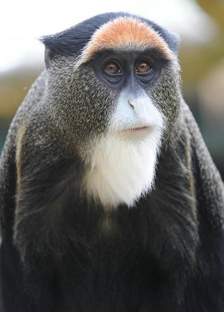 Male De Brazza Monkey