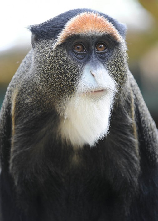 Male De Brazza Monkey