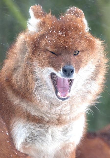Dhole –(Indian Hunting Dog)