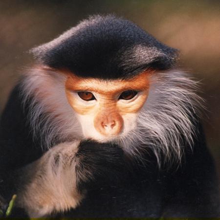 Male Douc Langur