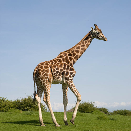 Adult Reticulated Giraffes