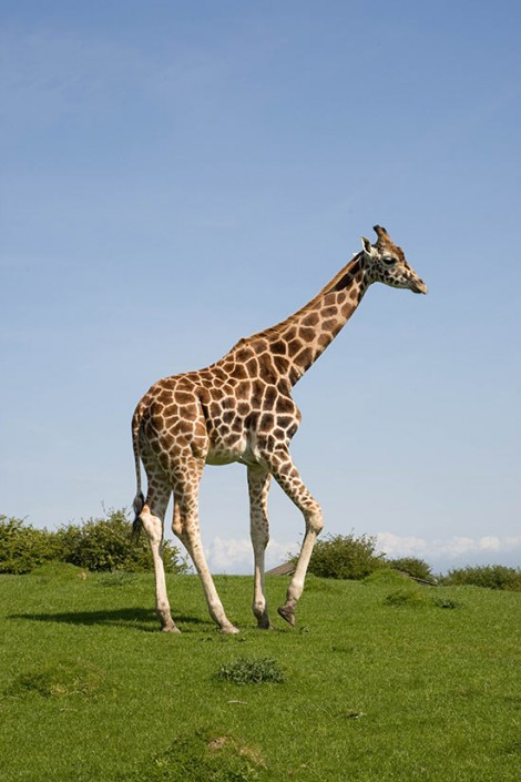 Adult Reticulated Giraffes