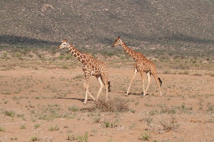 Wild Giraffes in Kenya