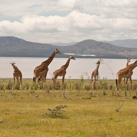 Giraffes beside Lake Nakuru, Kenya
