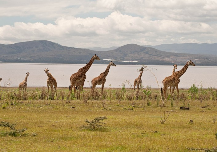 Giraffes beside Lake Nakuru, Kenya