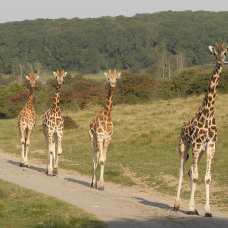 Reticulated Giraffes