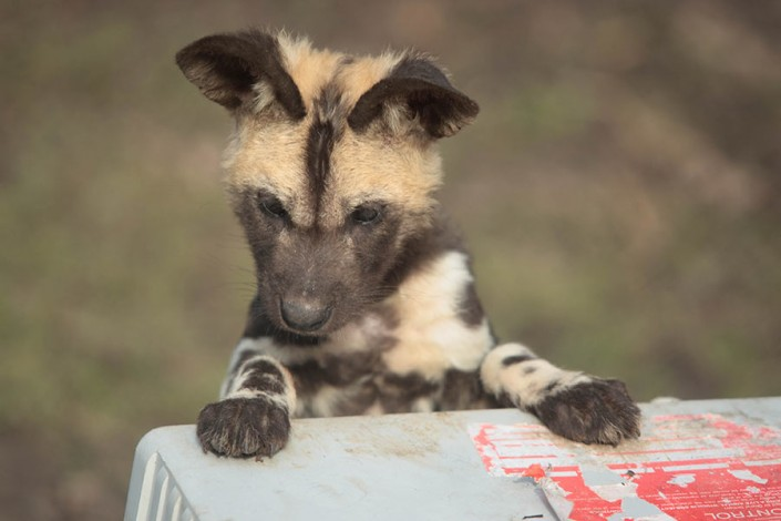 Young African Hunting Dog also known as 'Painted Dogs'