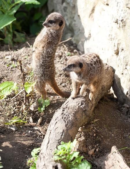 two meerkats