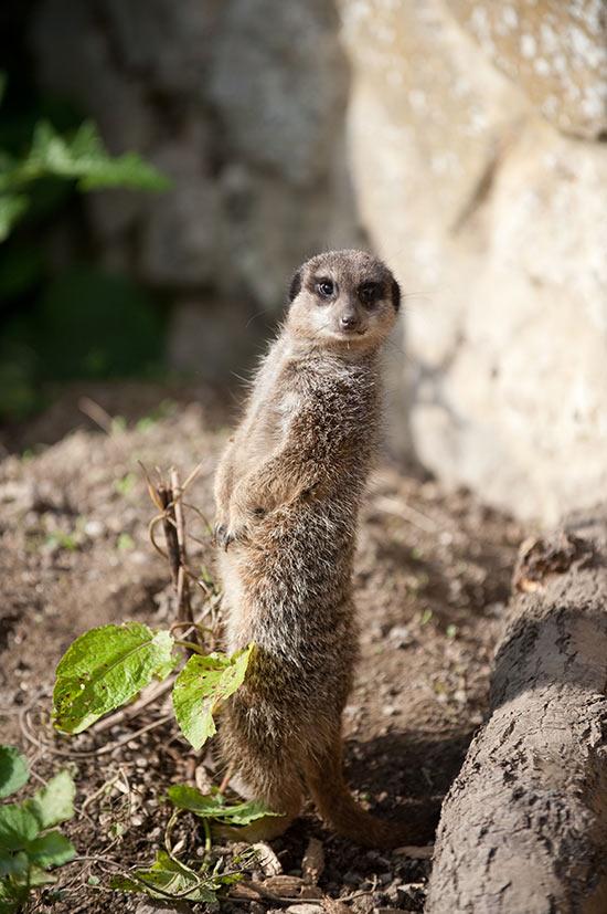 Meerkat - Wildlife Sho... Meerkat Pictures To Print
