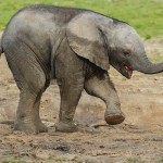 African Elephant Cub