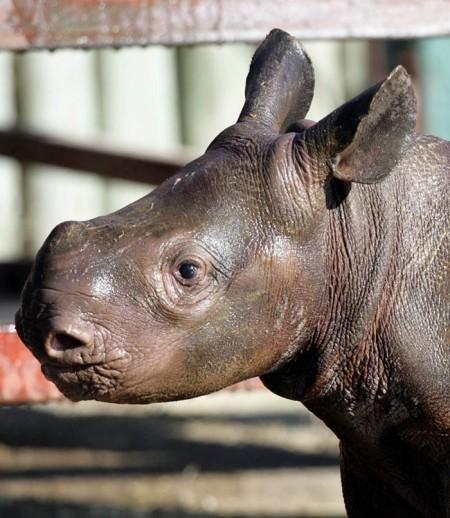Very young Rhino baby