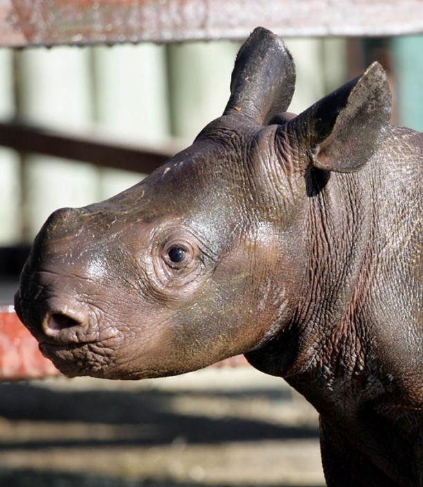 Very young Rhino baby