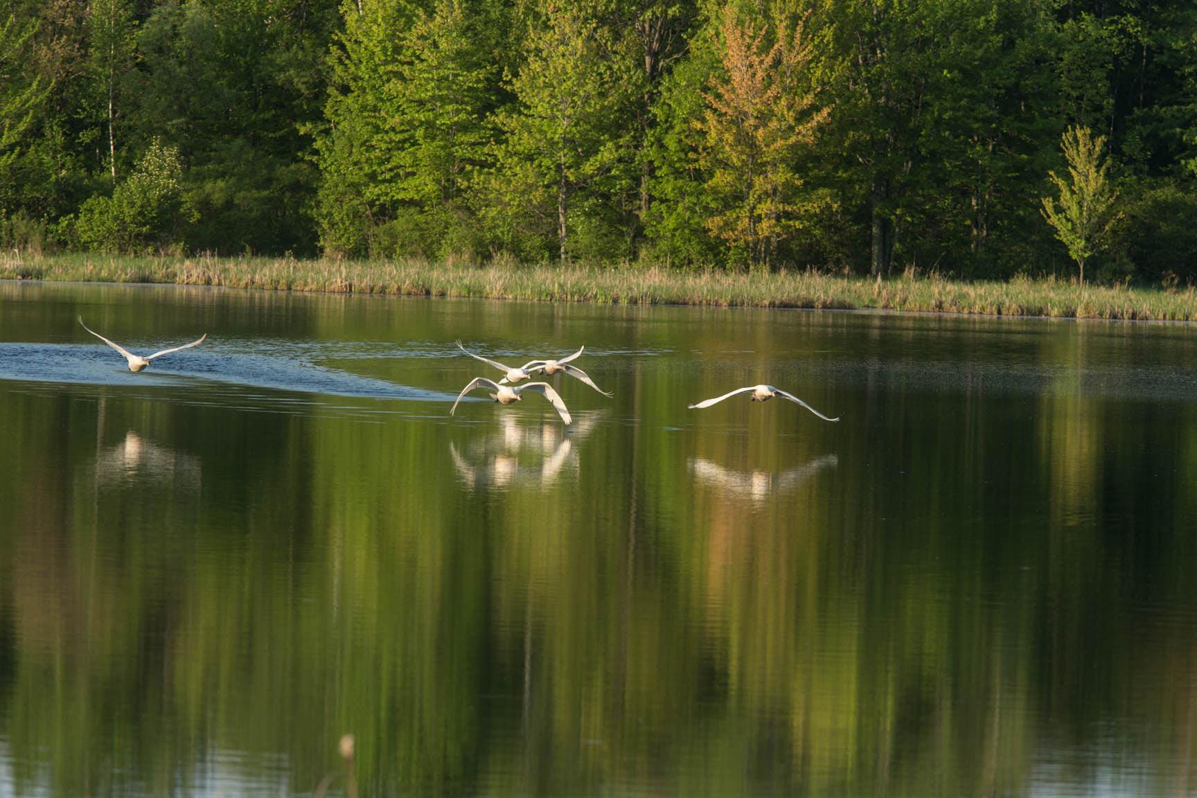 Trumpeter-Swans-in-Minnesota