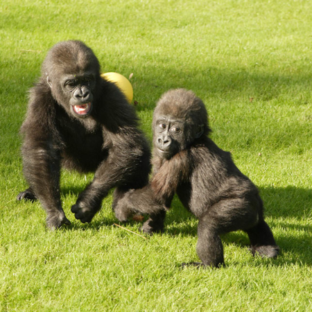 Young Gorillas Playing