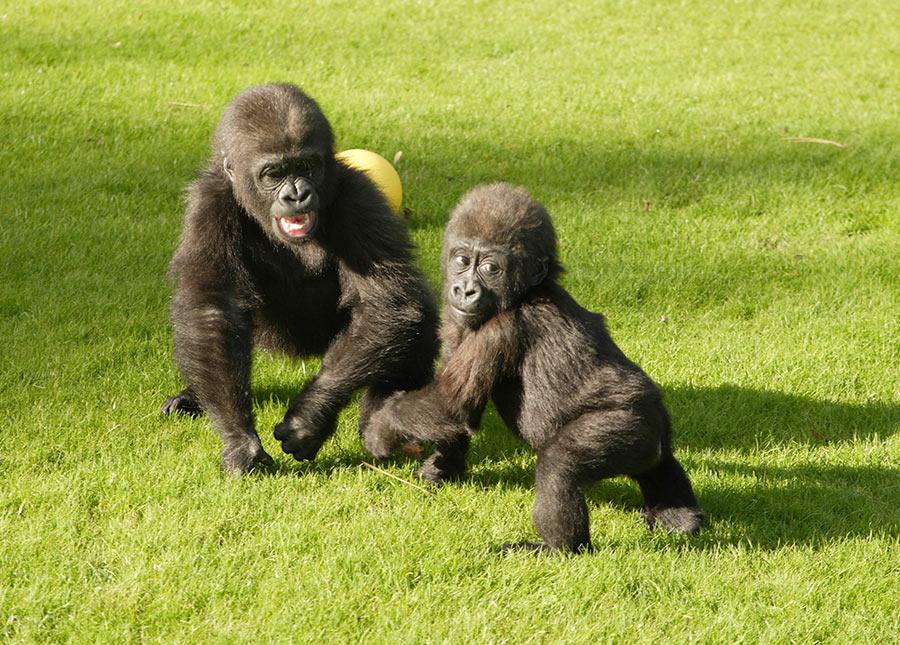 Gorilla Playing - image 11