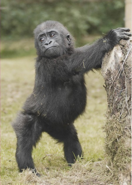 Young Gorilla playing