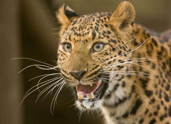 Cheinese Leopard