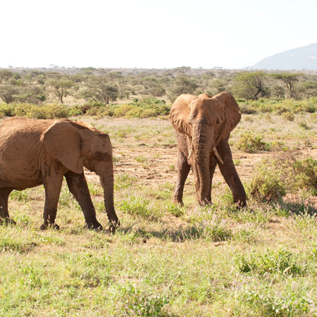 African Elephants at Samburu Kenya