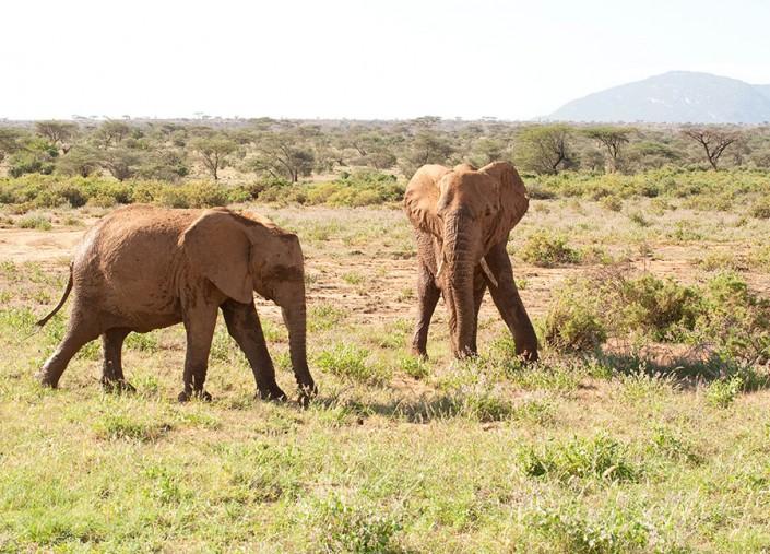 African Elephants at Samburu Kenya