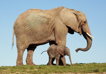 African Elephant mother & baby