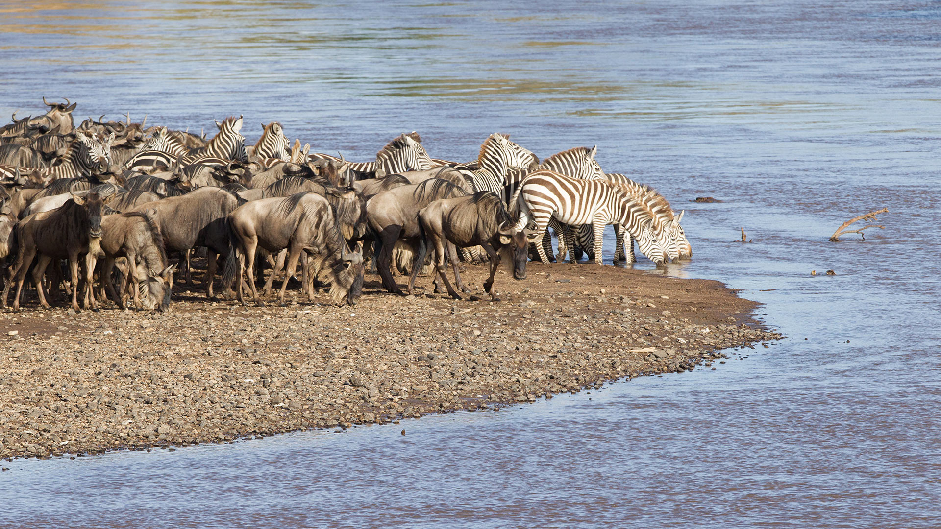 zebra-watering-hole