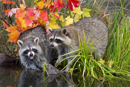 Racoons